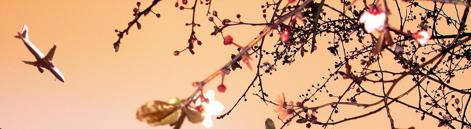 Ein Flugzeug am Himmel im Vordergrund Kirschblüten.