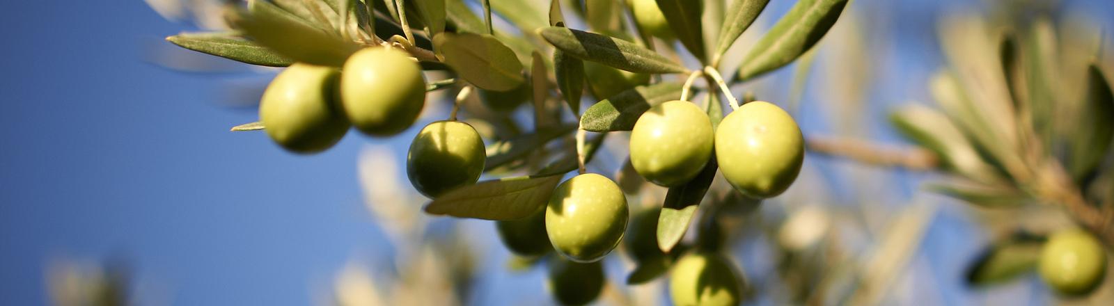 Olivenbaum - Zweig vor blauem Himmel