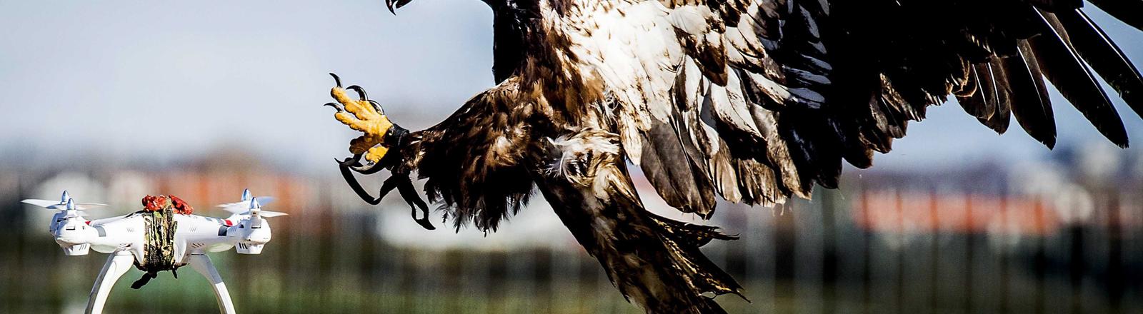 Adler im Anflug auf eine Drohne