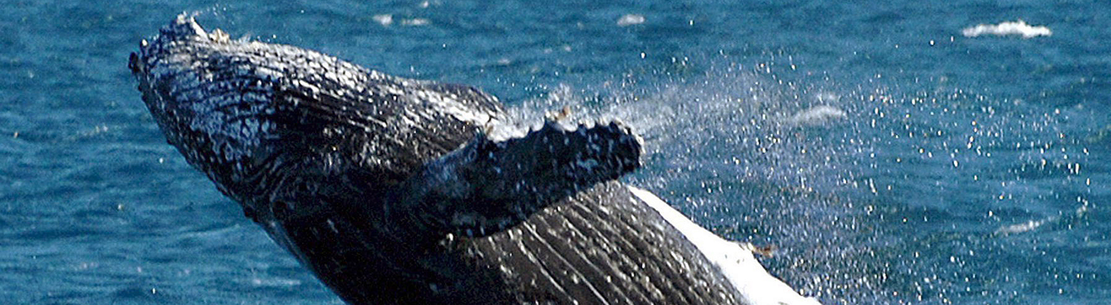 Buckelwal vor der Küste Australiens