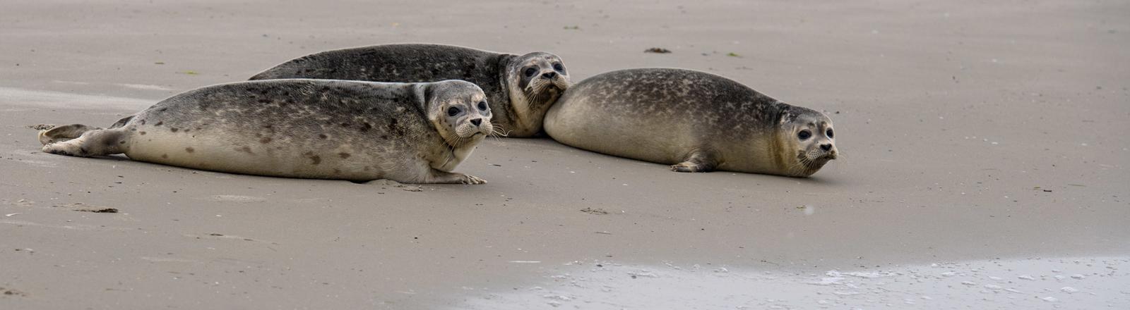 Drei Seehunde am Strand