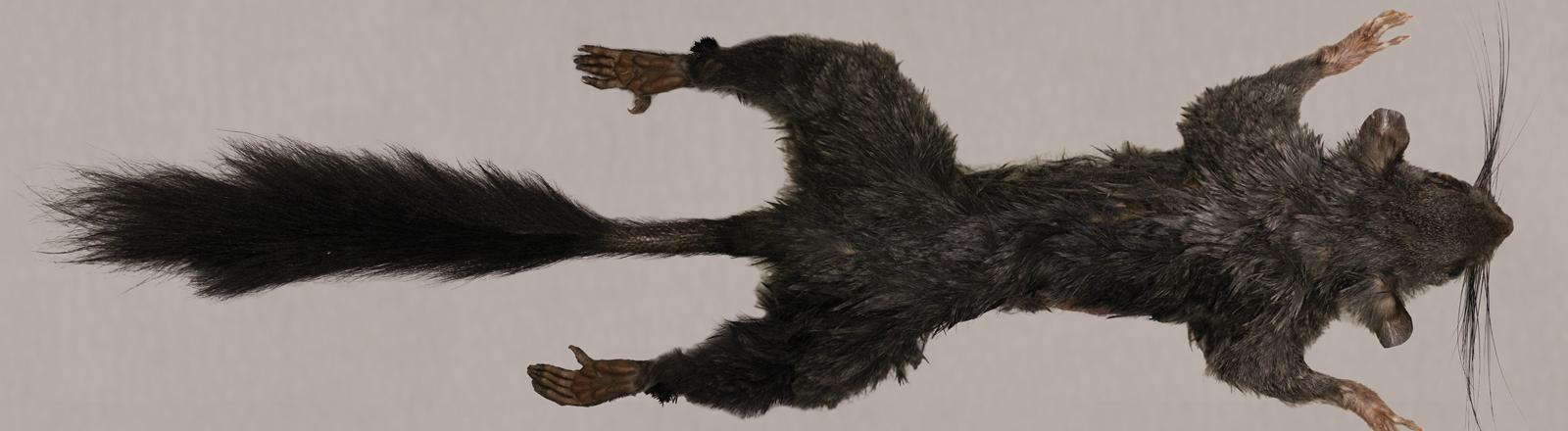 Ansichten eines Dornschwanzhörnchens.