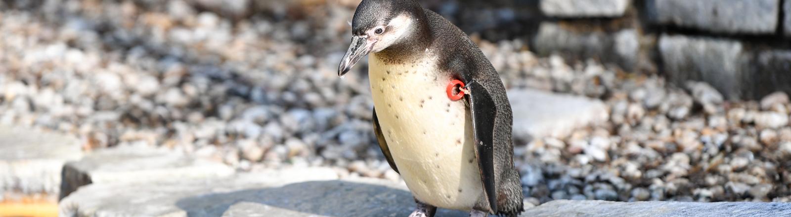 Pinguin in Mannheimer Tierpark