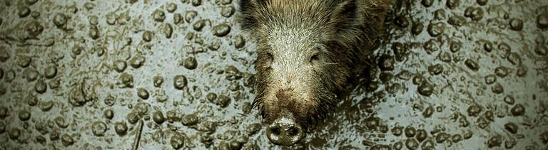 Ein Wildschwein guckt freundlich in eine Kamera.