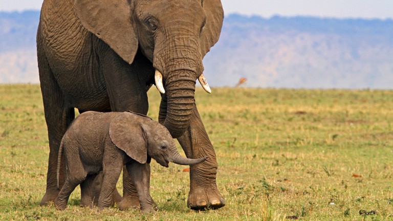 In einem Nationalpark in Nairobi steht ein Elefanten Weibchen, direkt davor ein Jungtier.