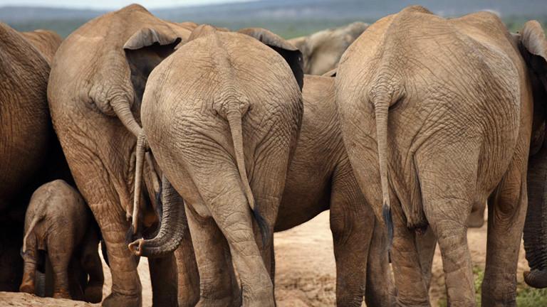 Eine Elefantenherde von hinten. Zwischen ausgewachsenen Elefanten steht ein Jungtier.