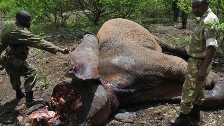 Ein toter Elefant liegt auf dem Boden. Sein Kopf ist zertrümmert. Vermutlich haben ihn Wilderer getötet und die Stoßzähne entfernt. Neben dem Elefanten stehen zwei Soldaten.