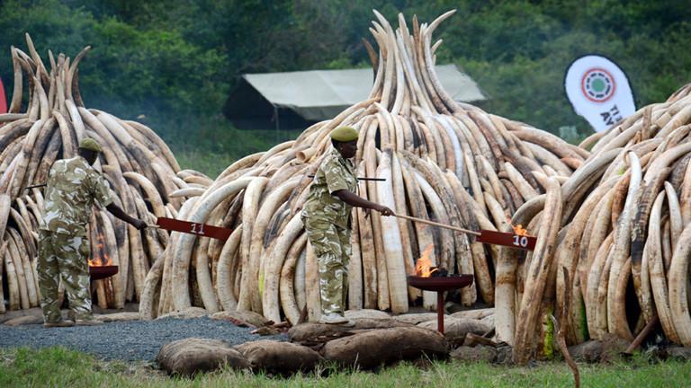 Die Regierung von Kenia lässt 100 Tonnen Elfenbein verbrennen, das konfisziert wurde. Das Elfenbein ist zu Haufen aufgetürmt. Feuer wird entzündet.