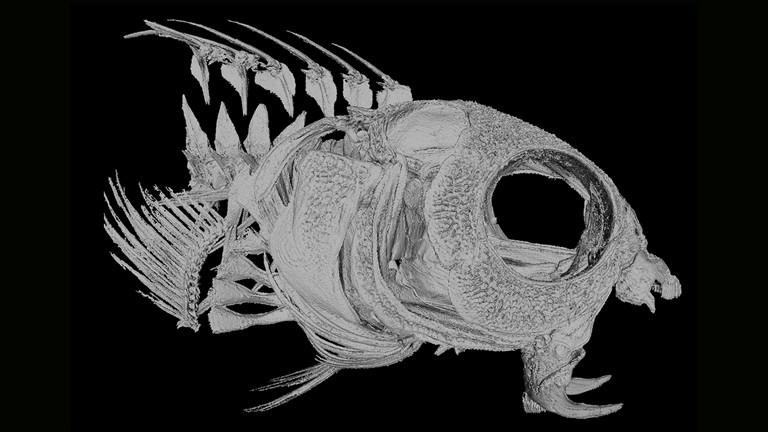 Skelett vom Säbelzahn-Schleimfisch