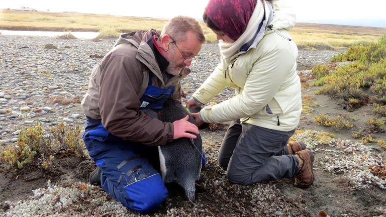 Pinguinforscher Klemens Pütz markiert zusammen mit einer Kollegin einen Pinguin