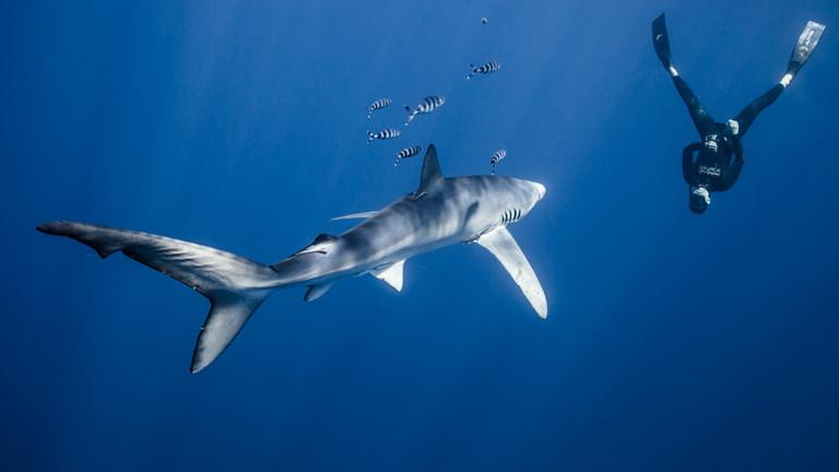 Taucher mit Hai