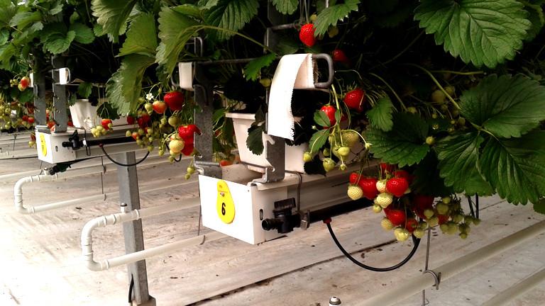 In Hüfthöhe wachsen Erdbeeren in Pflanzkästen, darunter verläuft ein Röhrensystem