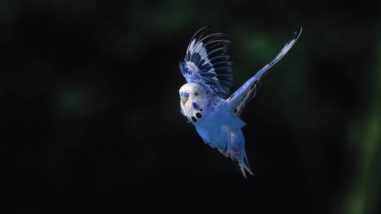 blauer Wellensittich im Anflug