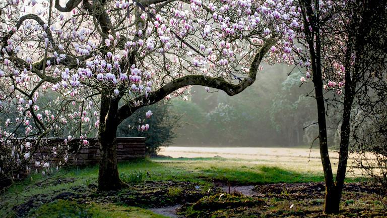 Ein blühender Magnolienbaum