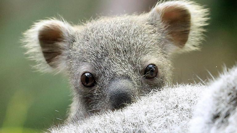 Ein rund sechs Monate alte noch namenlose Koala Baby sitzt am 22.01.2014 im Zoo in Duisburg auf dem Kopf seiner Mutter.