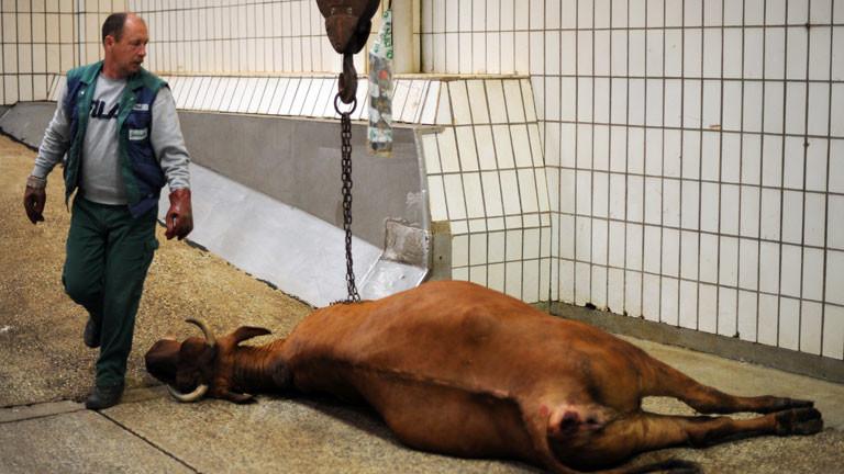 Ein Abdecker verwertet eine verendete Kuh weiter.