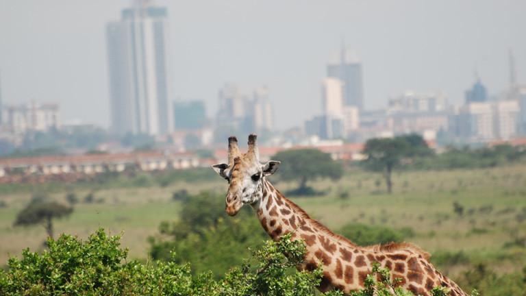 Eine Giraffe ist am 13.12.2015 im Nairobi National Park zu sehen. In den letzten Jahren ist Kenias Hauptstadt Nairobi bis unmittelbar an die Parkgrenzen herangewachsen.
