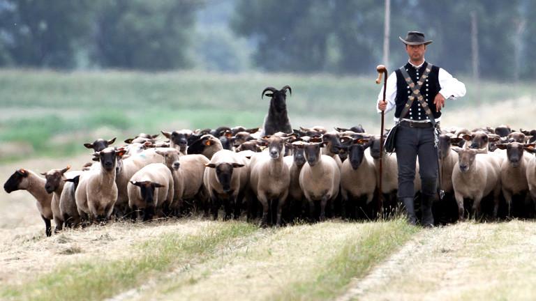 Ein Schäfer steht vor seinen Schafen.