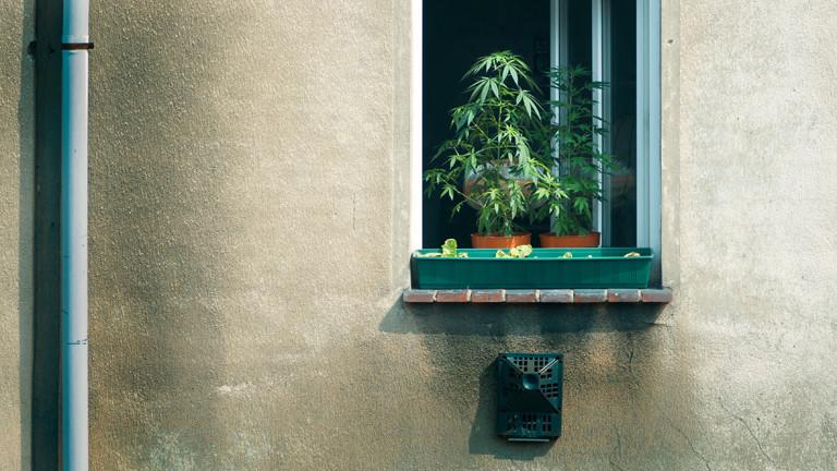 Ein Fenstersims, auf dem zwei Hanfpflanzen stehen.