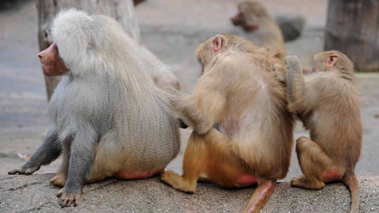 Drei Affen, die sich gegenseitig lausen.