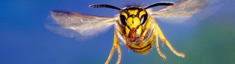 Die Deutsche Wespe im Flug