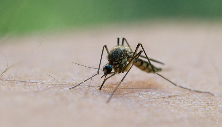 Eine Mücke saugt Blut aus einem Männerarm.