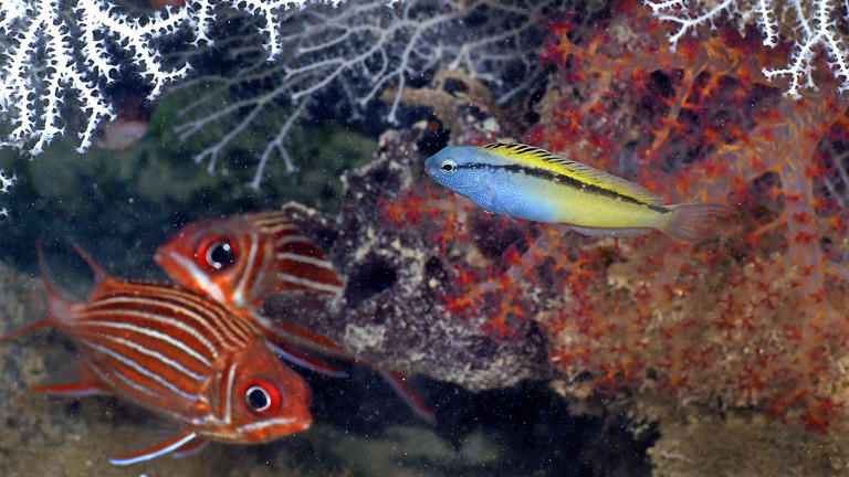 Unterwasser-Szene mit Meiacanthus nigrolineatus.