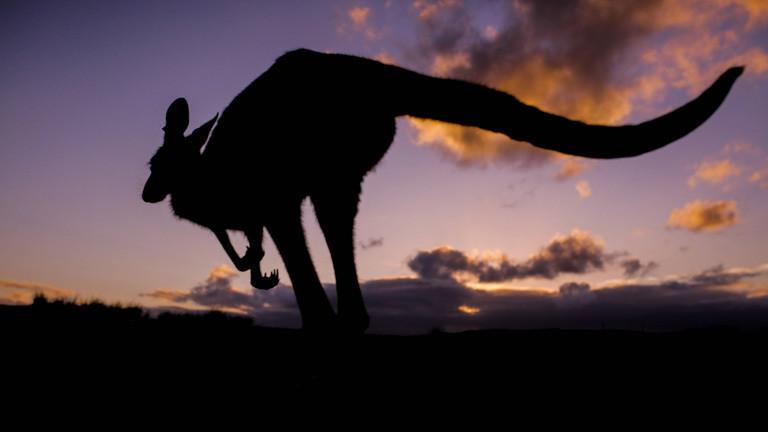 Känguru vor Sonnenuntergangshimmel