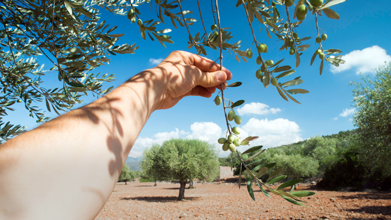 Eine Hand hält einen Olivenzweig