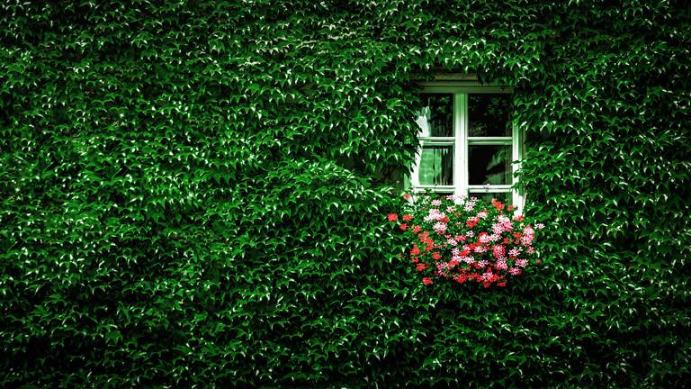 Zugewachsenes Haus mit Efeu oder wildem Wein. Nur noch ein Fenster mit Geranienkasten ist frei.