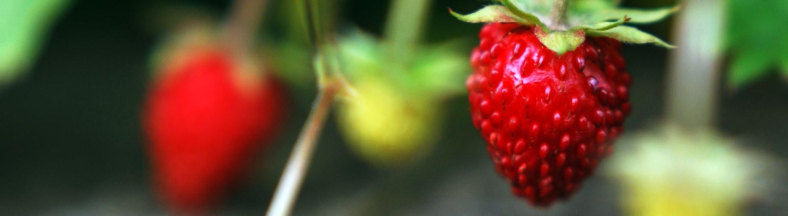 Nahaufnahme von jungen Erdbeeren