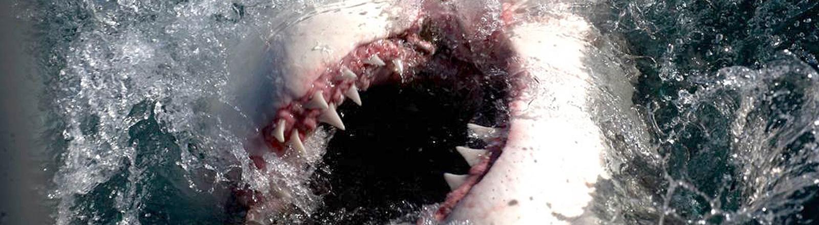 Offenes Maul eines weißen Hais