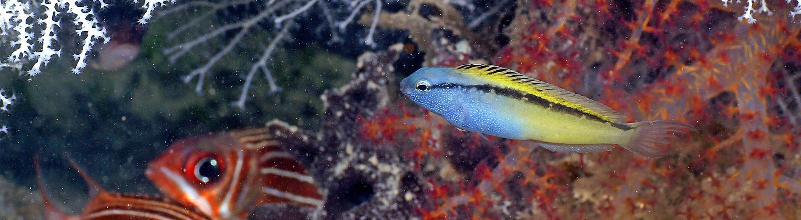Unterwasser-Szene mit Meiacanthus nigrolineatus