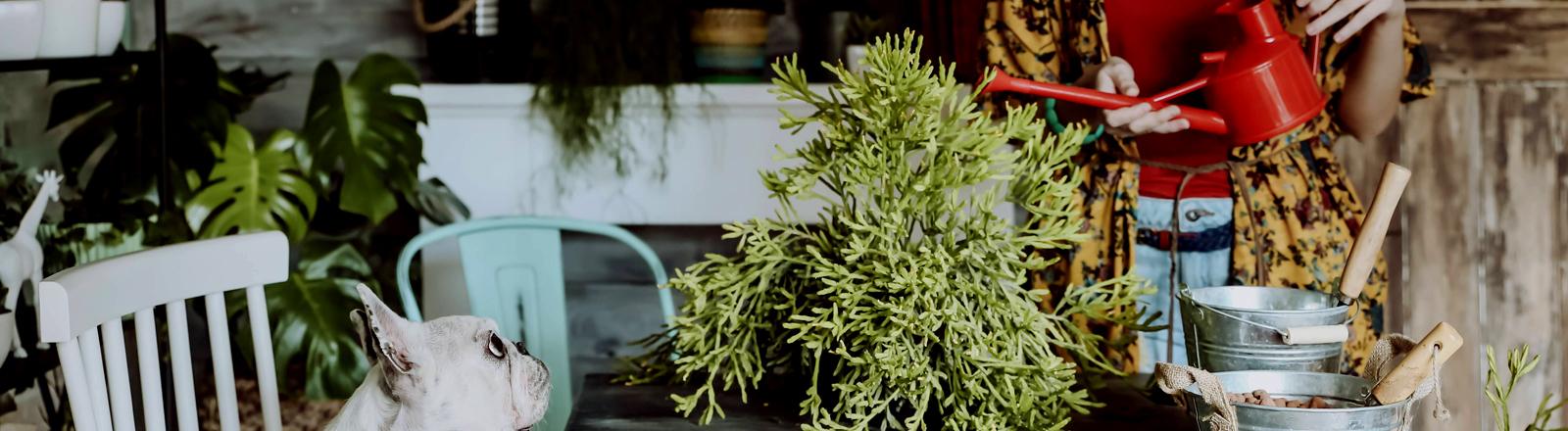 Frau, die ihre Pflanzen gießt, ein Mops auf einem Stuhl schaut zu.