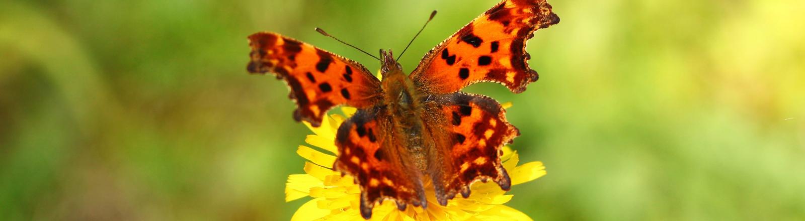 Roter Schmetterling auf einer gelben Blume
