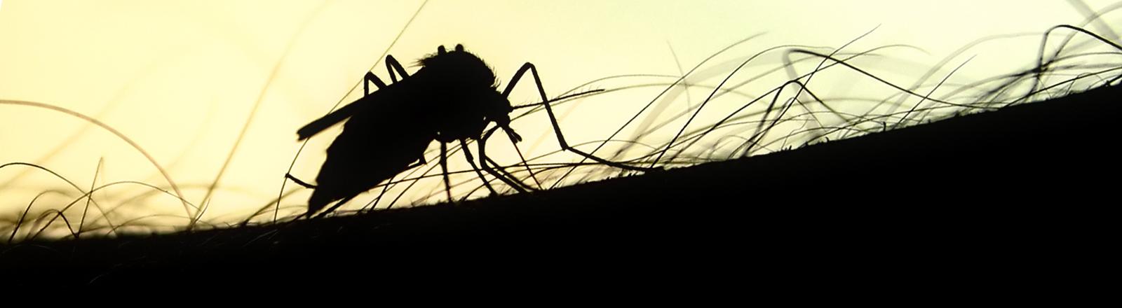Nahaufnahme einer Mücke, die auf einem behaarten Stück Körper sitzt