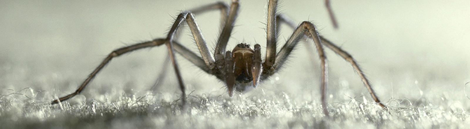 Spinne auf einem Teppich