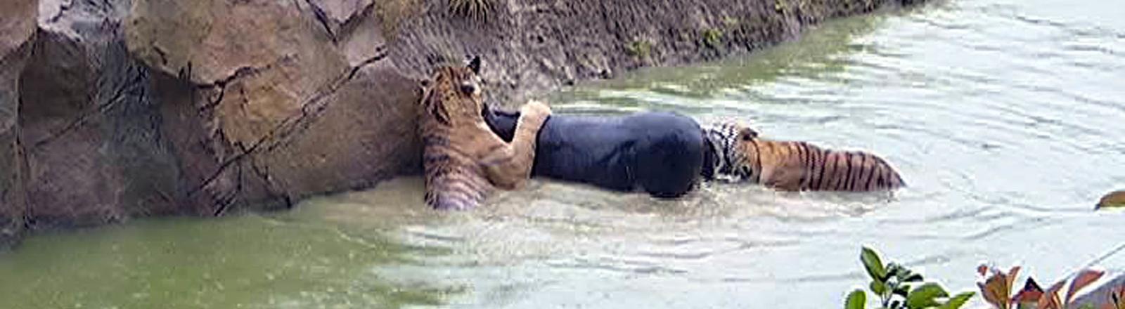 Tiger fressen einen Esel im Zoogehege