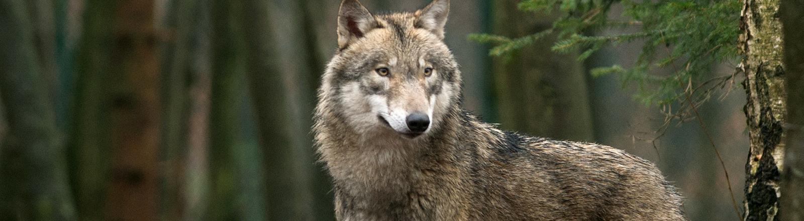 Ein Wolf steht im Wald.