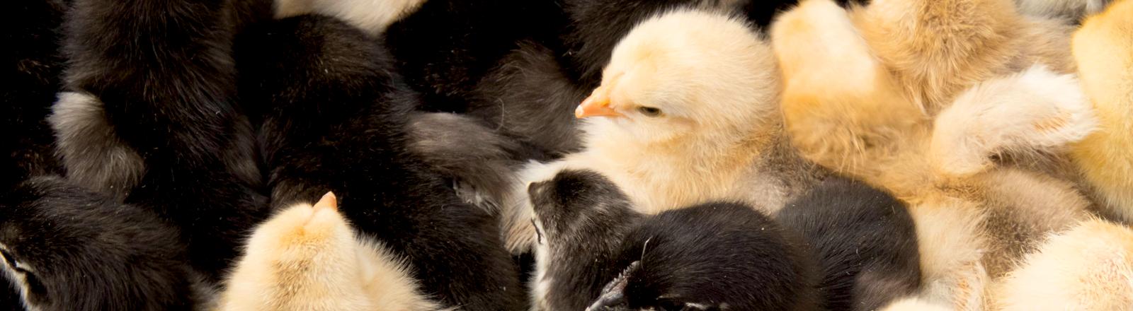 Hühnerküken sitzen dicht an dicht