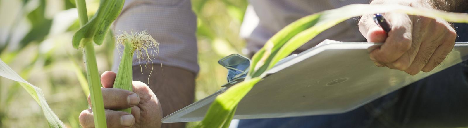 Ein Mann steht mit einem Klemmbrett in einem Maisfeld und untersucht eine Pflanze