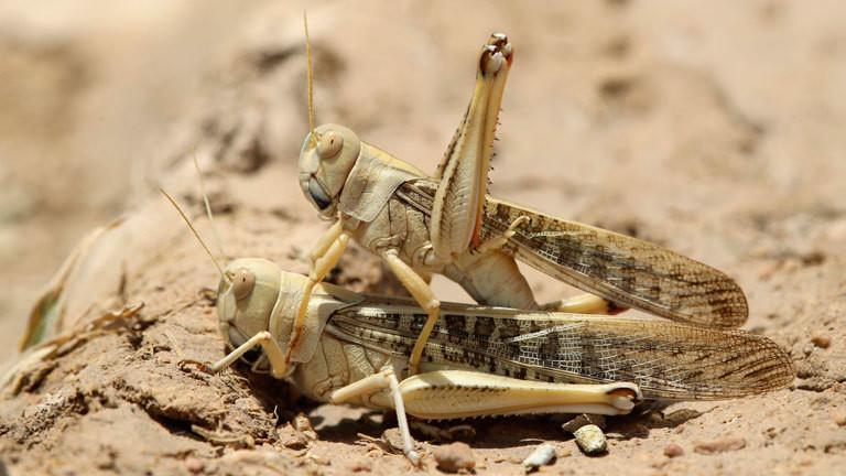 Zwei Wüstenheuschrecken sitzen aufeinander.