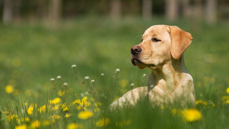 Blonder Labrador auf einer Wiese