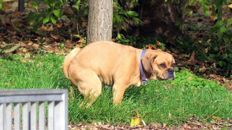 Ein Hund scheißt auf eine Wiese