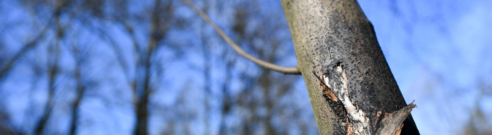 Schwarze Rinde an einem Baum