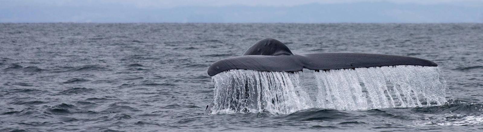 Blauwal in US-Gewässern