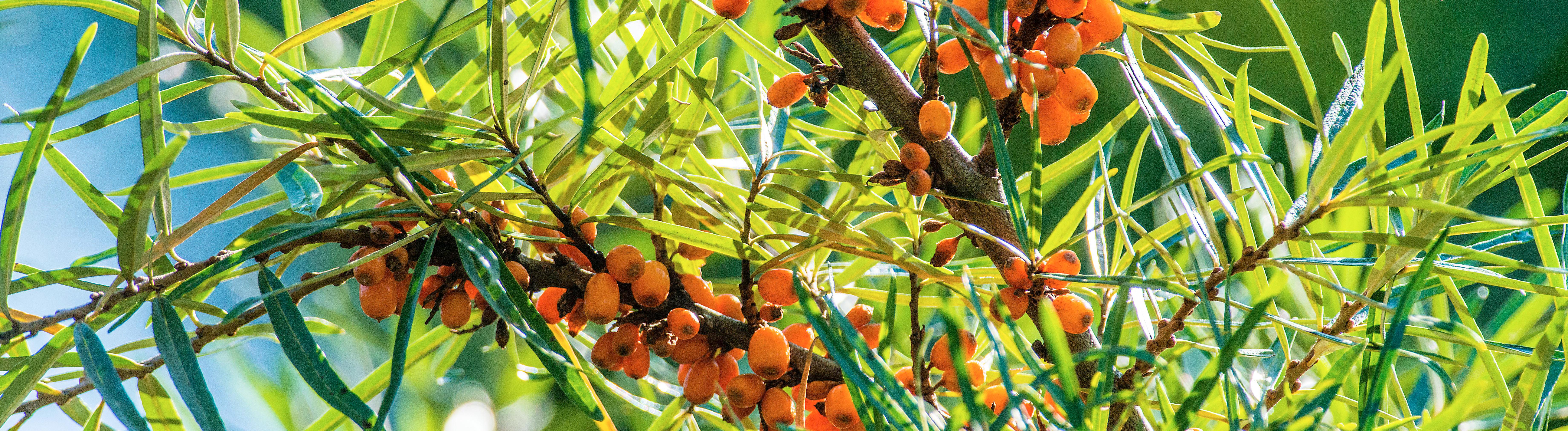 Reife Sanddornfrüchte hängen an einem Sanddornstrauch (Hippophae rhamnoides). Leutkirch, Baden Württemberg, Deutschland im Garten