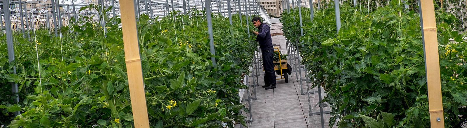 Auf einem Dachgarten in Paris wachsen Tomaten in langen Reihen: Der gehört zum Projekt NU-Paris. In einem Gang dazwischen steht ein Mann und kümmert sich um die Pflanzen, die so groß sind wie er (02.07.2020).