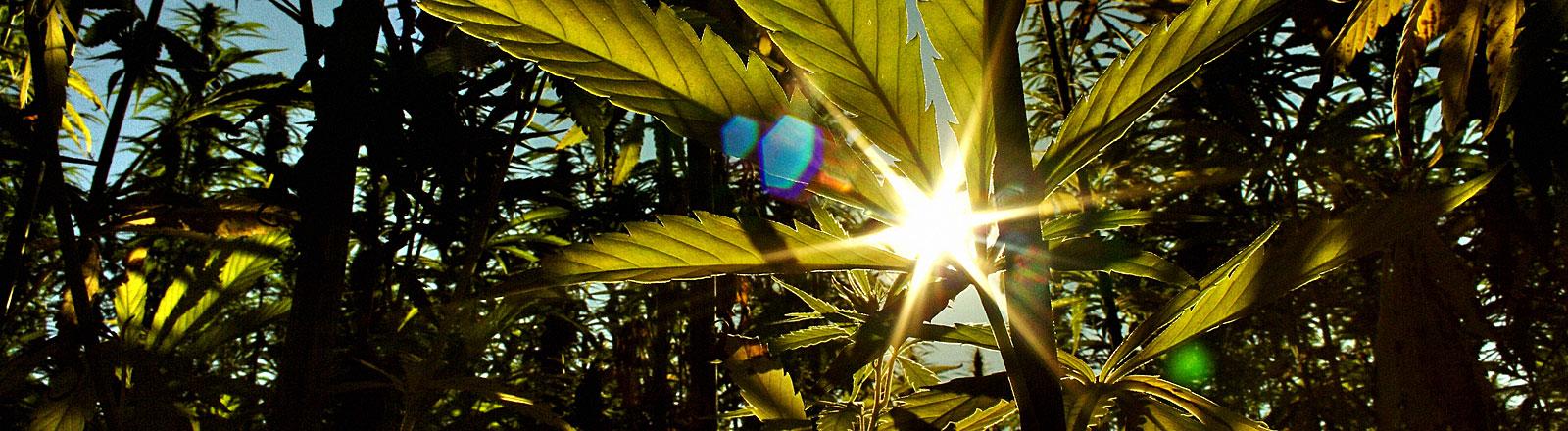 Cannabis im Sonnenlicht