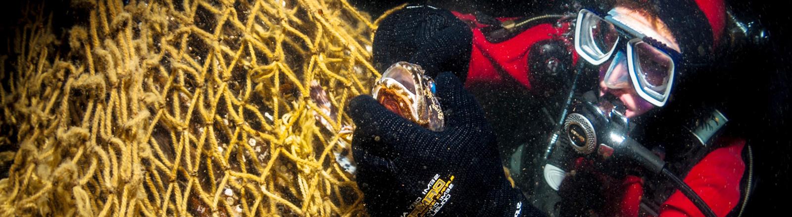 """Ein Taucher befreit am 05.03.2014 einen Seeskorpion aus einem Geisternetz am Wrack der """"Friedrich Engels"""" in der Ostsee östlich von Rügen."""